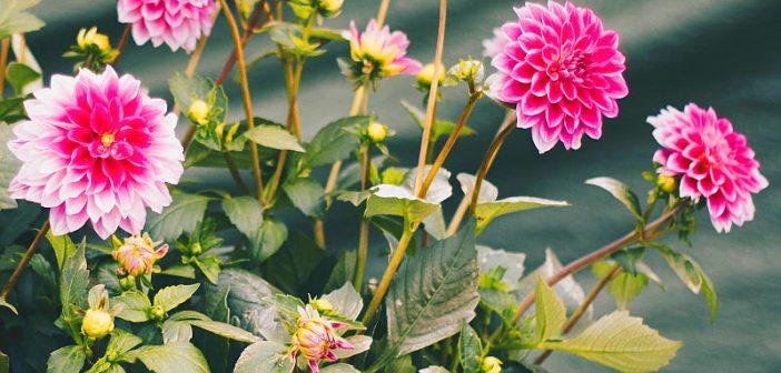 Beneficii pentru sanatate ale consumului de ceai de crizantemă