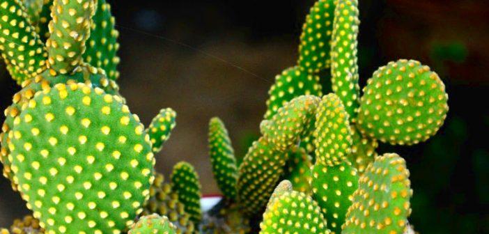 Care sunt beneficiile cactusului nopal